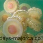 The Fried Egg jellyfish