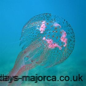A Pink jellyfish