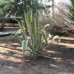 A cactus plant in the beach gardens at Sa Coma Majorca