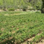 A Majorcan vineyard 2