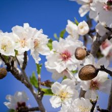Almonds and blossom on a tree in Majorca