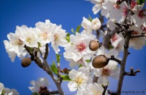 Majorcan Almonds - Winter Flowers