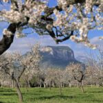 Field of Majorca almond trees in blossom with mountains in the background