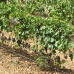 Grapes on the vines at Binissalem Majorca