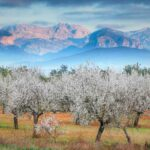 Majorca almond trees in front of misty mountains