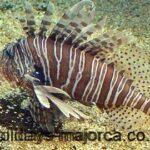 Poisonous Fish of Majorca Mediterranean Sea