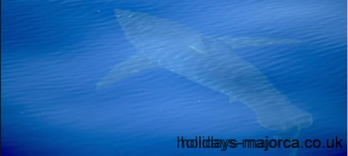 5 meter long great white shark spotted eight miles from Cabrera Majorca